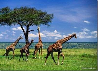 Жираф - самое высокое животное