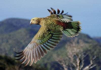 Попугай в природе