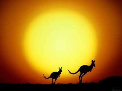 Австралийские кенгуру