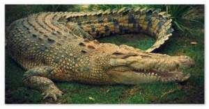Жил да был крокодил