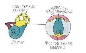 Орган равновесия - вестибулярный аппарат