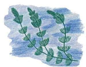 Растения-индикаторы: каулиния и роголистник