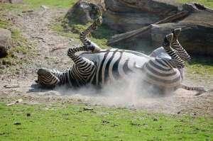 Зебра - животное Африки
